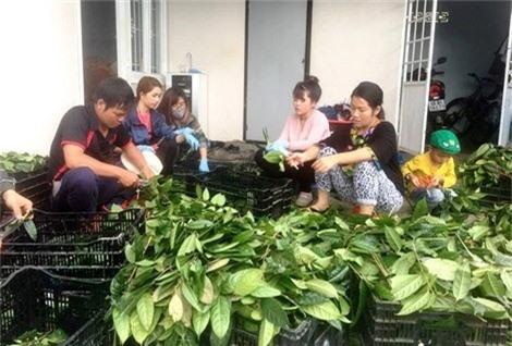 Thu hoạch trà hoa vàng tại gia đình chị Lê An Na.