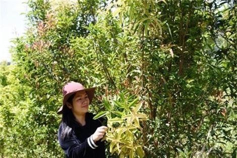 Chị Lê An Na bên loại trà hoa vàng Thạch Châu Đà Lạt.