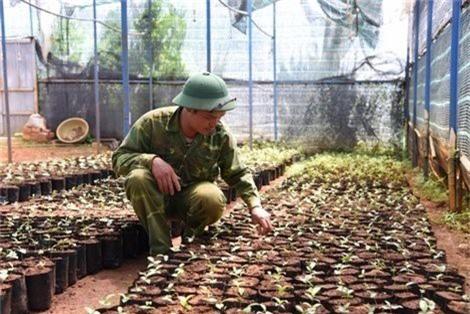 Nhân giống trà hoa vàng tại khu bảo tồn của chị Lê An Na.