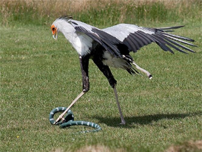 Loài chim 'võ sĩ' tên thư ký, thích ăn rắn độc cực dị - ảnh 5