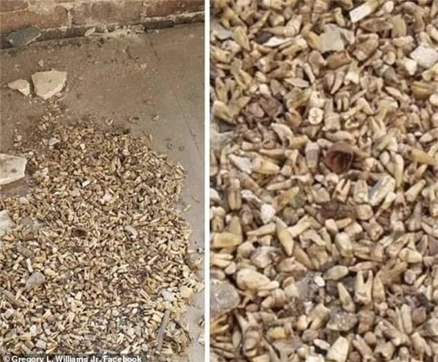 Công nhân phát hoảng khi phát hiện 1.000 chiếc răng người được chôn trong tường 0