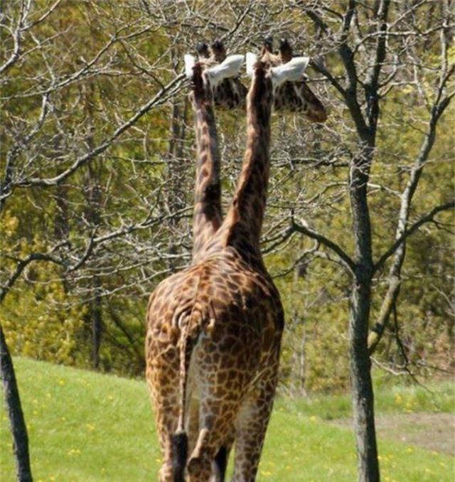 Một chú hươu cao cổ hai đầu