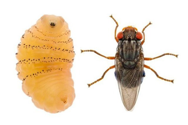 Đây là một trường hợp hiếm ở Mỹ vì ruồi thường chỉ phổ biến ở vùng nhiệt đới