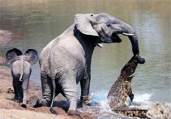 Cá sấu Gustave, dã thú ăn thịt nhiều người nhất ở thời hiện đại - ảnh 1