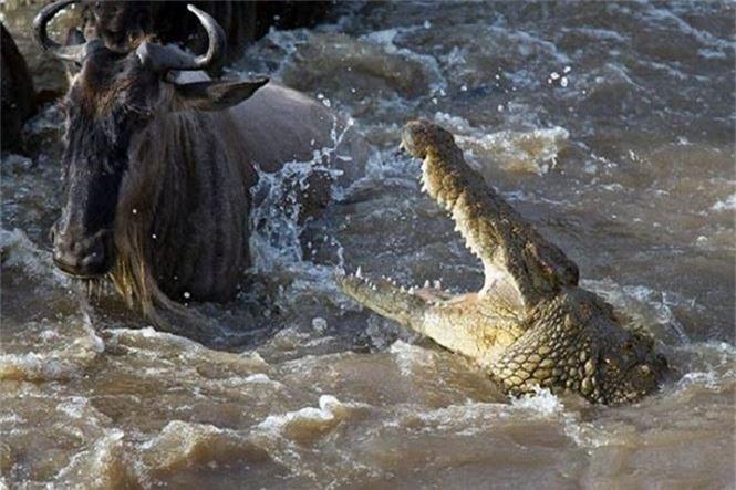 Cá sấu Gustave, dã thú ăn thịt nhiều người nhất ở thời hiện đại - ảnh 2