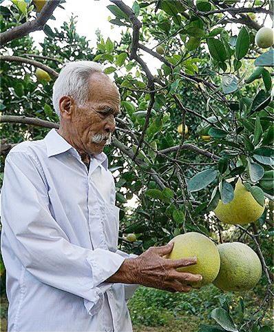Về già, ông Kính mượn 200m2 đất của con trai cả để trồng bưởi, mỗi năm ông thu hoạch được 2 lần, bán được khoảng 6 triệu đồng.. Ảnh: Trọng Nghĩa.