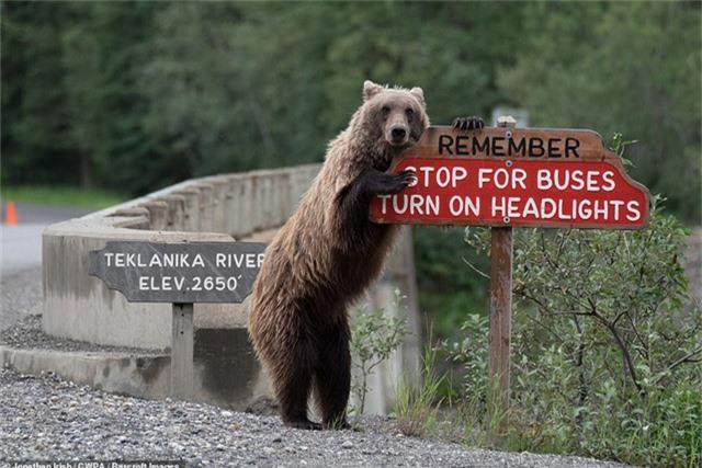 Gấu tạo dáng bên biển cảnh báo giao thông (Ảnh: Jonathan Irish)
