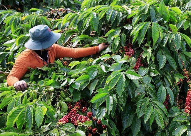 Người dân Tây Nguyên vào mùa thu hoạch cà phê (Ảnh: TA)