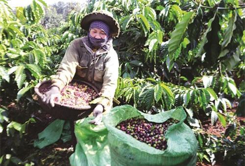 """Nhiều nông dân khó khăn vì mùa cà phê """"đắng""""."""