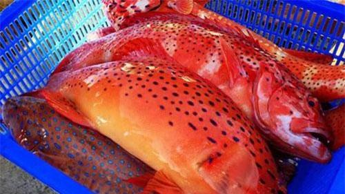 Nằm trong nhóm hải sản quý hiếm, cá mú đỏ có giá bán lên tới gần 1 triệu đồng/kg, được giới nhà Viết ưa chuộng. Ảnh: Youtube.