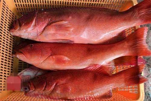 Cá mú đỏ chỉ sống ở các rạn san hô, được đánh bắt ngoài thiên nhiên, chứ không nuôi được như cá mú đen, cá mú cọp và các loại cá mú phổ biến khác… Ảnh: Haisanmoingay.
