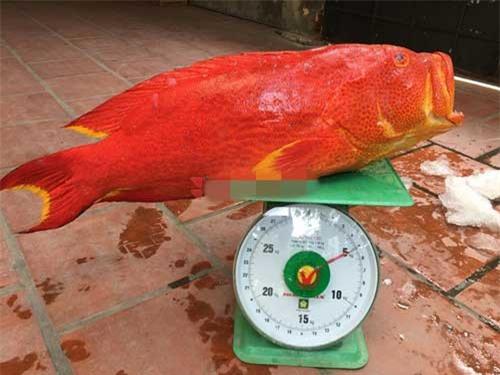 Đây cũng chính là một phần nguyên nhân khiến giá cá mú đỏ thường xuyên ở mức cao. Ảnh: Camudo.