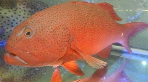 Một vài người bán cho biết, do đánh bắt tự nhiên nên cá mú đỏ không phải lúc nào cũng có sẵn hàng. Mỗi lần nhập cũng chỉ có vài con. Ảnh: Alohaisantuoi.