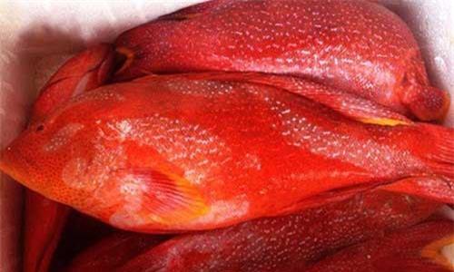 Trên thị trường, có khá nhiều cửa hàng rao bán loại cá này. Trong đó, cá múa đỏ tươi sống size to 1–5kg/con có giá bán từ 900.000 - 1 triệu đồng/kg. Ảnh: Cungcaphaisan.