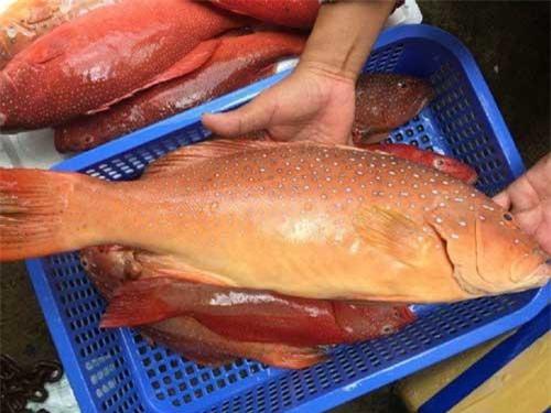 Trong khi đó, loại cá mú đỏ đông lạnh loại nhỏ dưới 1,5kg/kg, giá dao động từ 300.000 - 400.000 đồng/kg. Ảnh: Daohaisan.