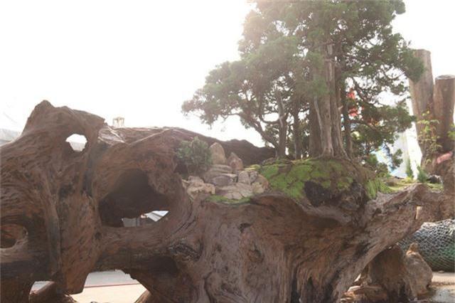 """Theo anh Thịnh, phần thân và gốc cây Sao đều trải qua quá trình hàng chục năm bào mòn dưới dòng sông nên có hình dáng mềm mại, thân lũa tự nhiên đẹp hiếm có. """"Đây đều là cây Sao cổ thụ, đường kính và kích thước rất lớn, nằm ở dưới dòng sông một thời gian dài mới được phát hiện, khai thác. Để sở hữu tôi phải bỏ rất nhiều công sức và tiền bạc"""", anh Thịnh nói."""