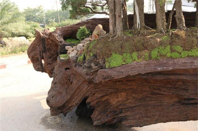 """Theo anh Thịnh, điểm độc đáo của tác phẩm là phần thân gỗ lũa với hình dáng, đường nét tự nhiên tạo ra những đường cong mềm mại, đẹp tự nhiên. """"Cây tùng biểu tượng cho người quân tử, sức sống mãnh liệt tôn thêm vẻ đẹp, sự hài hòa cho phần thân cây Sao"""", anh Tùng nói. Được biết, tác phẩm nặng gần 2,6 tấn và có giá vào khoảng 700 triệu."""