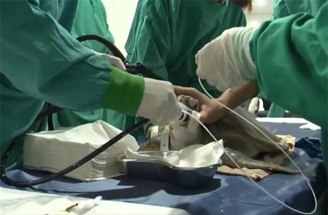 Nhân viên cứu hộ đang tìm cách lấy dị vật từ rùa xanh.