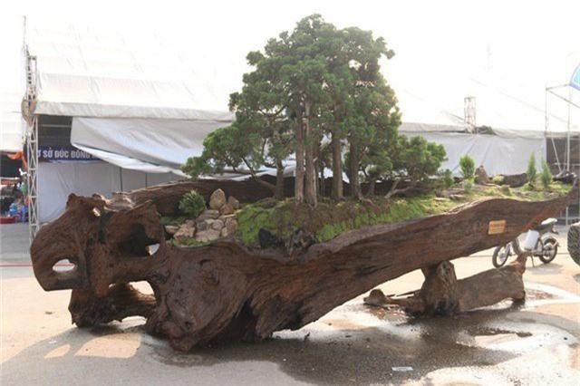 Cặp bonsai mọc trên gốc cây củi mục hàng trăm tuổi gây chú ý.