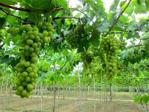 Nho là một trong 12 sản phẩm đặc thù của tỉnh Ninh Thuận. (Ảnh: VPG)