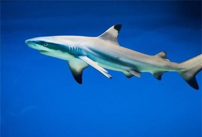 Những đặc điểm thú vị của loài cá mập - ảnh 1