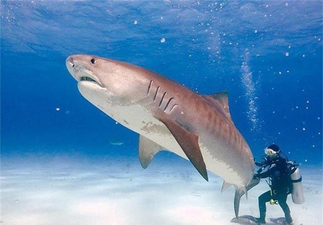 Những đặc điểm thú vị của loài cá mập - ảnh 2