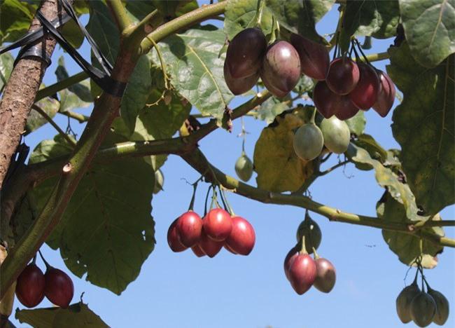 Cần định giá sản phẩm cà chua thân gỗ đúng giá trị để phát triển bền vững (Ảnh: VH)