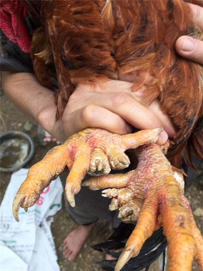 Loài gà vua Hùng kén rể trong truyền thuyết được ráo riết săn lùng làm quà biếu Tết-13