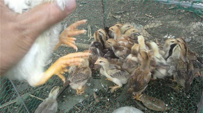 Loài gà vua Hùng kén rể trong truyền thuyết được ráo riết săn lùng làm quà biếu Tết-15
