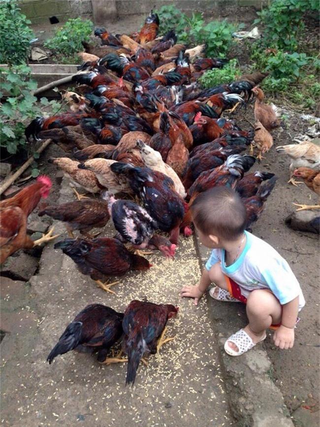 Loài gà vua Hùng kén rể trong truyền thuyết được ráo riết săn lùng làm quà biếu Tết-2
