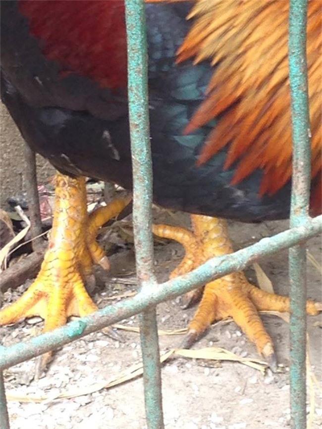 Loài gà vua Hùng kén rể trong truyền thuyết được ráo riết săn lùng làm quà biếu Tết-4