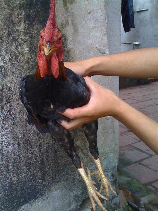 Loài gà vua Hùng kén rể trong truyền thuyết được ráo riết săn lùng làm quà biếu Tết-9