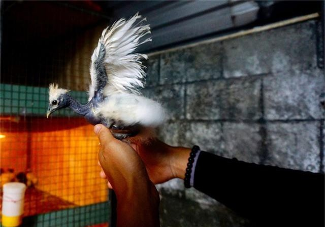 Gà con khi đẻ ra đã không có lông ở cổ và nuôi khoảng 7 tháng có thể đẻ được, mỗi lần đẻ khoảng 10 quả trứng.
