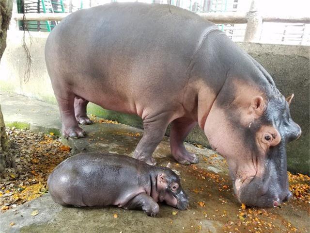 Hà mã con Bé Xoài luôn theo sát bên mẹ. Hà mã (Hippopotamus amphibius) hiện là loài động vật hoang dã nằm trong sách đỏ thế giới có nguy cơ tuyệt chủng cao.