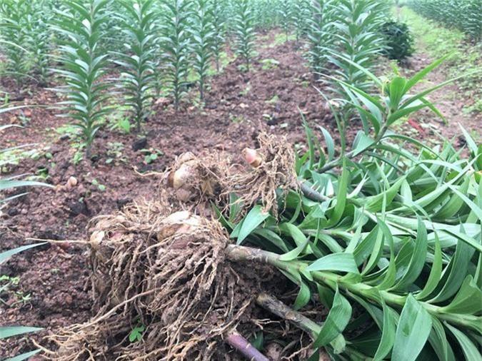 Thời tiết thất thường, nông dân lo trượt vụ hoa tết - Ảnh 6.