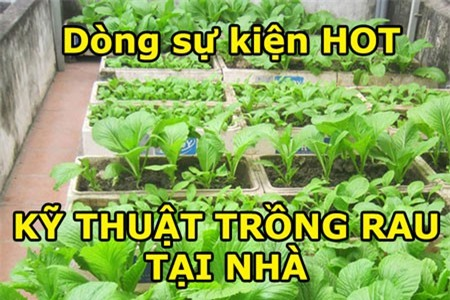 kỹ thuật trồng rau tại nhà