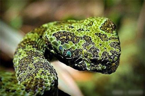 Loài rắn này được xếp vào hàng kịch độc, chúng có thể dài tới 2m