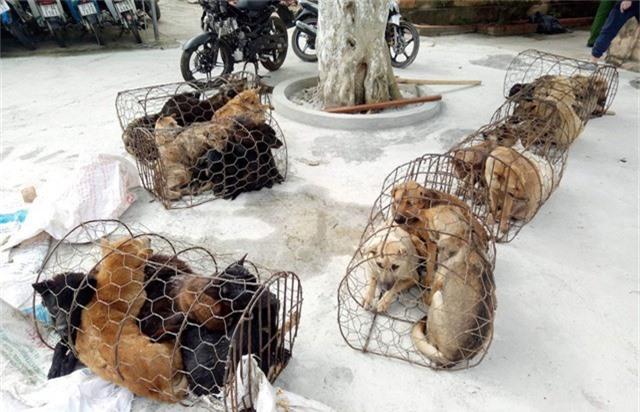 Hàng chục con chó đã được nhóm cẩu tặc bắt và được cơ quan cảnh sát đưa về để phục vụ điều tra.