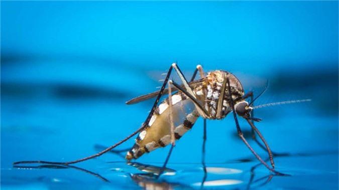 Các nhà nghiên cứu vừa phát hiện ra cách làm cho loài muỗi hạn chế việc sinh sản.
