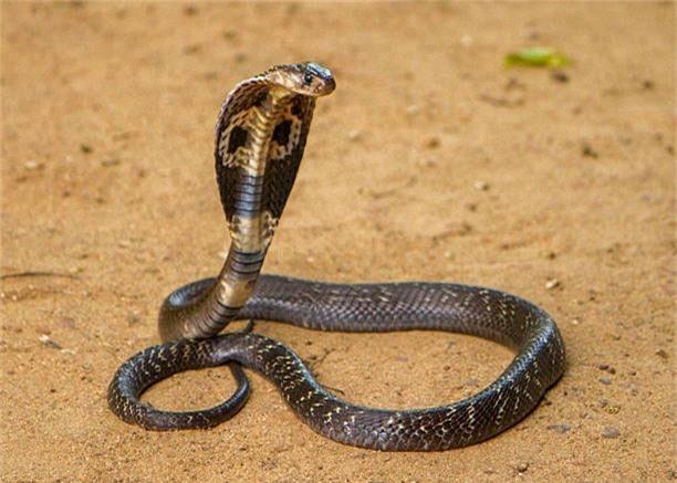 Con rắn hổ mang chúa dài nhất thế giới đã từng bị bắt tại Malaysia