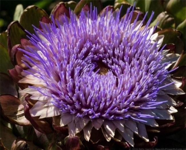 Sắc tím tinh khôi đến nao lòng của hoa Atiso (Ảnh: VH)