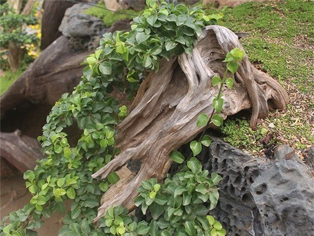 Độc đáo mai vàng khoe sắc trên thân cây chết giá gần tỷ đồng - 8