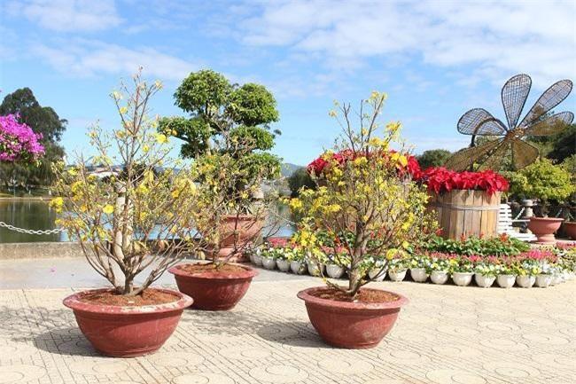 Mai vàng miền Trung cũng đã được các nghệ nhân trồng hoa ở Lâm Đồng trồng và cho ra hoa đúng tết (Ảnh: VH)