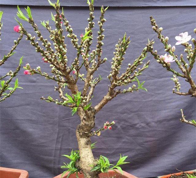 Những cây đào thất thốn mini có kích thước nhỏ, hoa nở sai và thường dễ nhầm lẫn với đào thất thốn tiến vua đắt tiền.