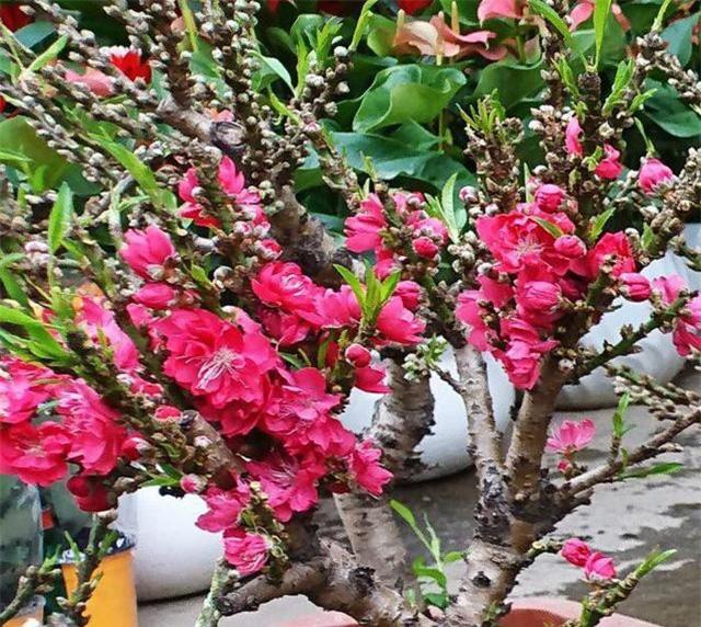 Đào thất thốn mini có nguồn gốc từ Trung Quốc có giá thành rất rẻ từng gây sốt thị trường hoa Tết trong vài năm qua.