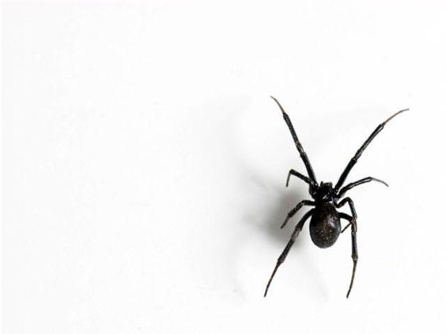 Điểm danh những loài nhện độc nhất thế giới có khả năng gây chết người - 3