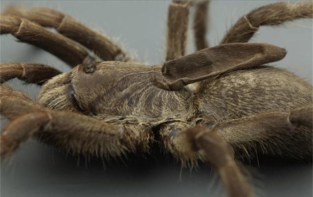 Kì lạ loài nhện độc có sừng mọc trên lưng - 1