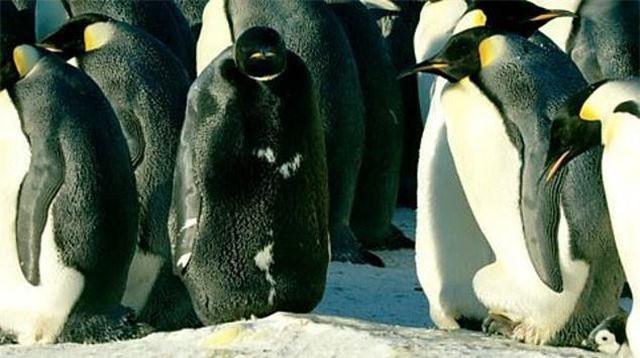 Chim cánh cụt hoàng đế đen tuyền cực hiếm, xuất hiện bên đồng loại