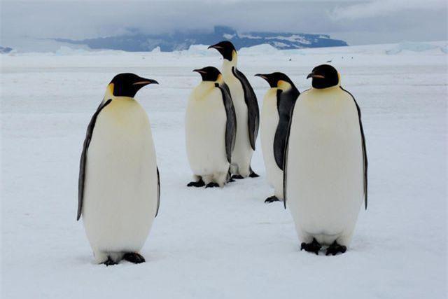 Những con chim cánh cụt hoàng đế ở Nam Cực