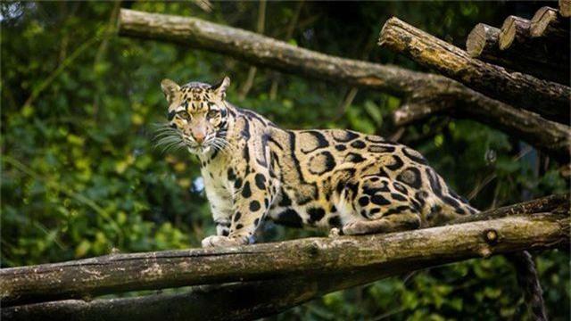 Loài báo đốm quý hiếm tưởng tuyệt chủng bất ngờ xuất hiện trở lại ở Đài Loan - 1